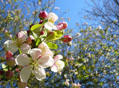 512px-Crab apple tree blossom