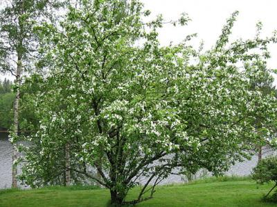 Apple tree in a garden