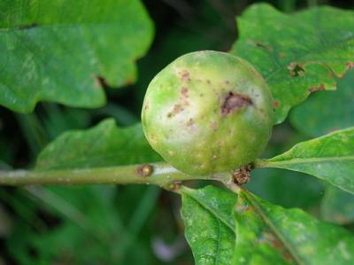 Developing Oak Marble gall