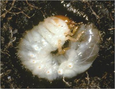 Grub Larvae closeup