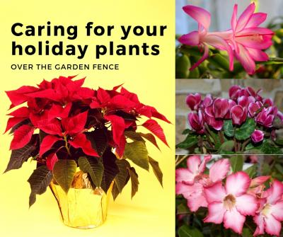Holiday Plant Care 1