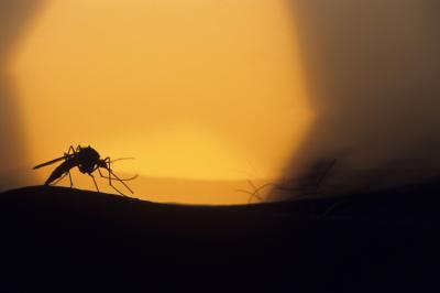 Mosquito-Yellow