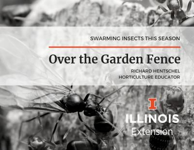 Over the Garden Fence - swarming insects