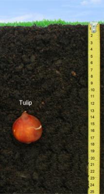 Tulip-Bulb-Deapth