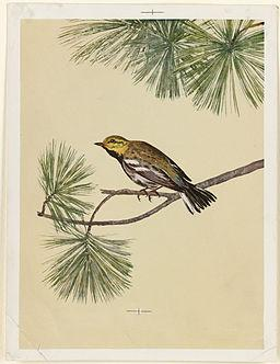 Yellow Bird on Evergreen Branch  Boston Public Library