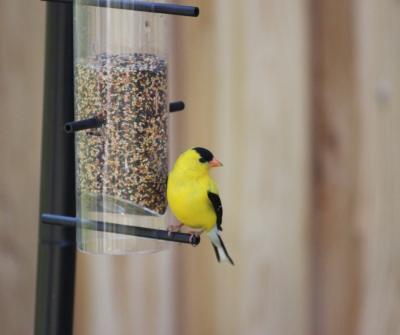birdfeeder canva