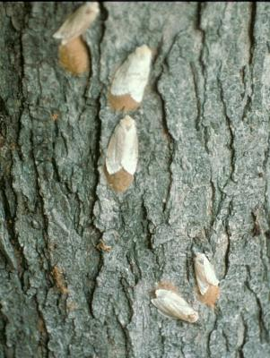 gypsy moth females with egg masses-Phil Nixon