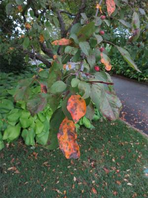scab infected crabapple leaves