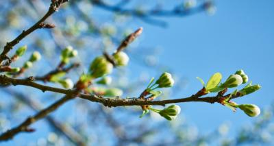 tree buds canva
