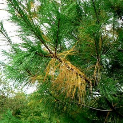 yellowing evergreen