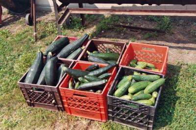 Harvested zucchini and cucumbers