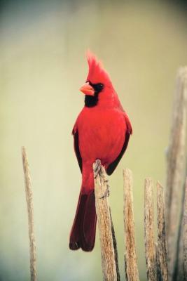 Cardinal - Copy