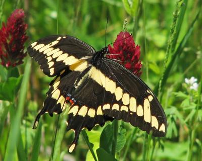 Ellson Giant Swallowtail Vicki DeLoach