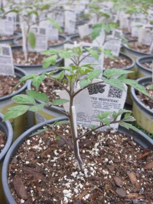 Grafted Tomato Ellson Grafting Vegetables