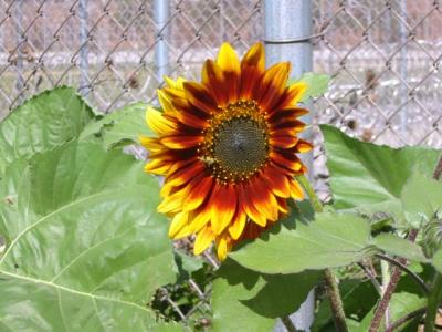 Sunflower in the garden