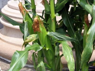 Sweet Corn in earthbox on Museum steps