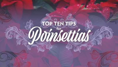 Ten-Tips-for-Poinsettias-rectangle