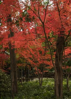 fall trees red - Copy
