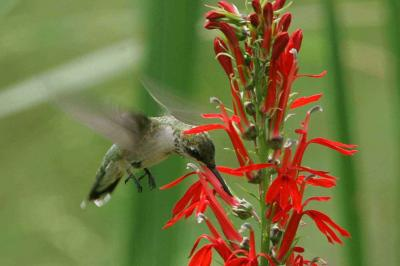 ruby-throated-hummingbird-archilochus-colubris-at-cardinal-flower