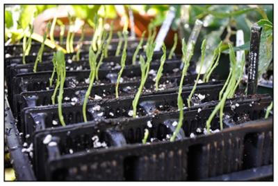 seedling stretching
