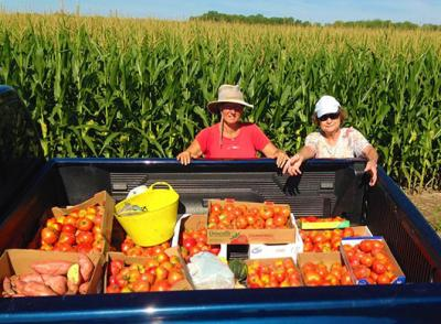 Master Gardeners harvest produce at Henry White Farm.