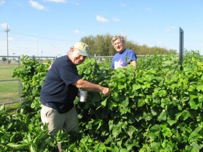 DuPage- Japanese beetle control at Loves and Fishes garden