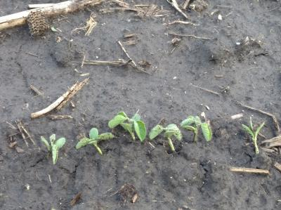 April 27 Early soybean near Cisco, IL.