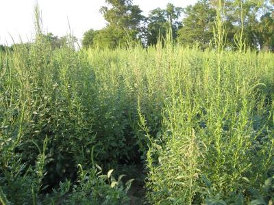 Palmer amaranth infestation in Madison County, Illinois. Photo credit, Robert Bellm