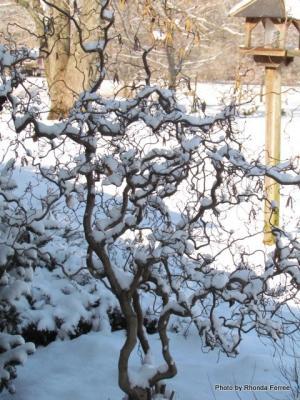 Contorted hazelnut in winter