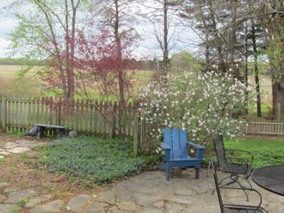 Japanese maple leafing out, vinca vine in flower, Carlesei viburnum flowering on 3-26-12