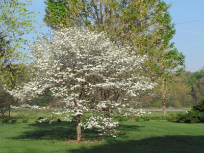 Flowering dogwood on 4-3-12