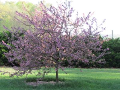 PrairieFire crabapple on 4-3-12