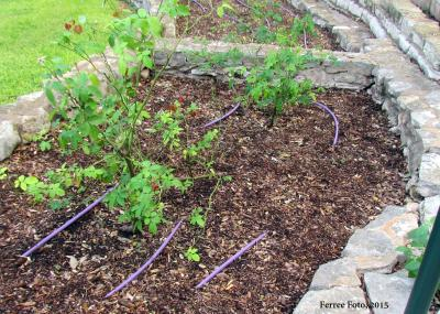Drip irrigation in a raised bed garden.