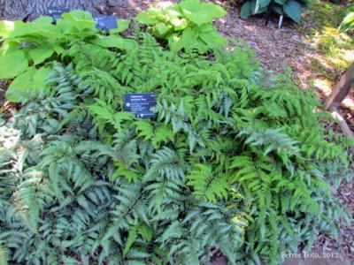 Japanese painted fern (Athyrium niponicum Pictum)