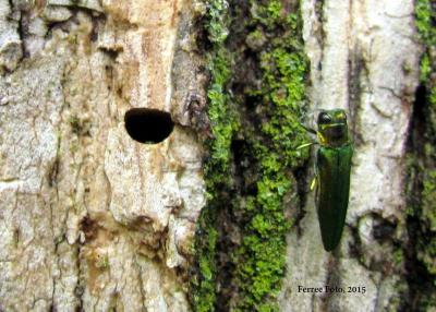 Emerald ash borer hole and adult beetle