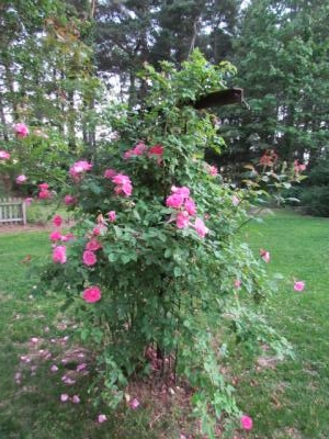Climbing rose on May 7, 2012.  Notice the carpet of petals forming below the plant.