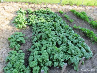 Spinach growing in Morton Giving Garden