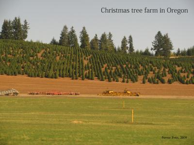 Christmas tree production in Oregon