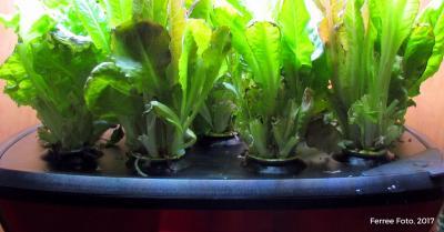 Salad greens growing in aerogarden.
