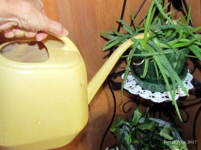Watering aloe houseplant