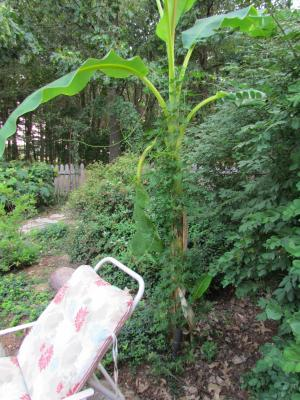 Banana tree with Cardinal climber on 7-13-12