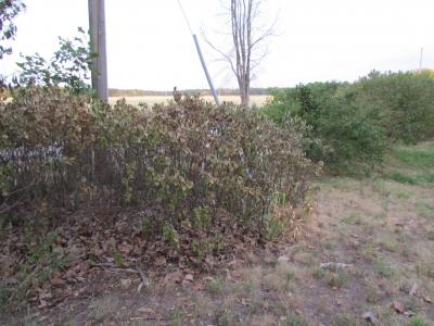Lilac shrubs drying up from drought on 7-13-12