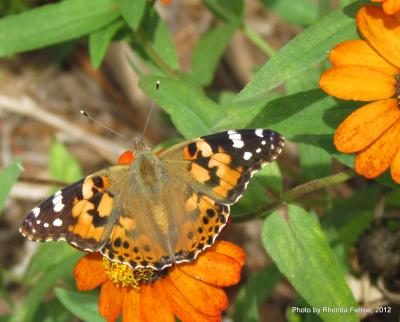 Red admiral butterfly on Mexican zinnia on 9-17-12