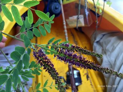 (Amorpha fruticosa L.) False indigo bush