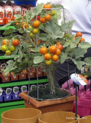 Dwarf tomato growing in a container.