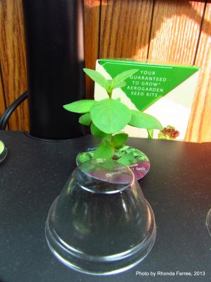 basil grown indoors on 1-18-13