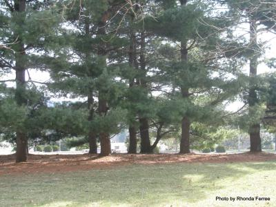 White pine on Western Illinois University campus, March 2011