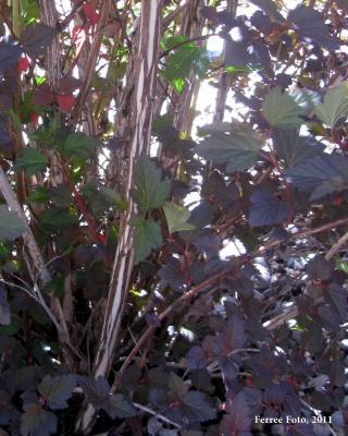 Diablo ninebark exfoliating stem