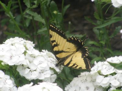 swallowtail on sweet william