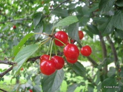 Sour cherries on tree